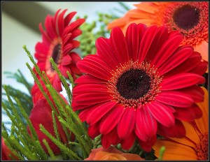 Gerbera/Flickr/Ifijay